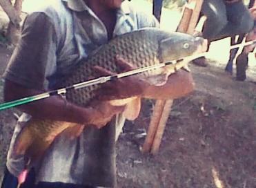 Rahasia Umpan Mancing Ikan Mas Babon Di Kolam Komunitas Mancing Alam Liar